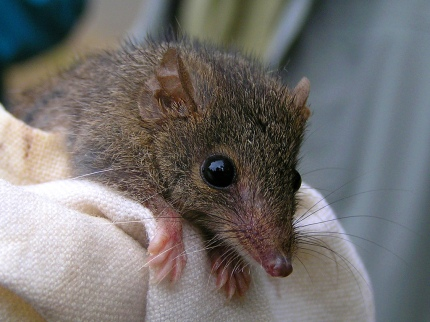 Agile_Antechinus_(Antechinus_agilis)_on_cloth,_close-up_from_front