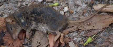 Brown-Antechinus